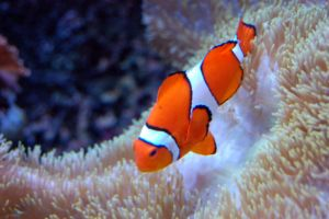 Clown Fish 1 by UnseenMuse