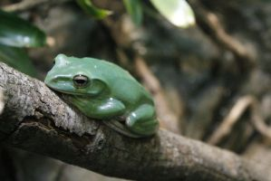 Chinese Gliding Frog by chibitrinity