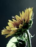 The Turkish sunflower. by aamy-babes