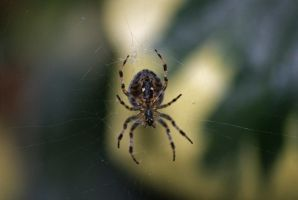Spider by robertbeardwell