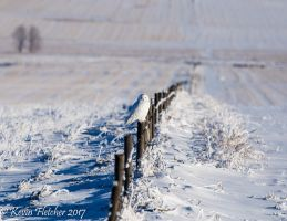 Snowy Owl 07 January 03 2017 by sgt-slaughter