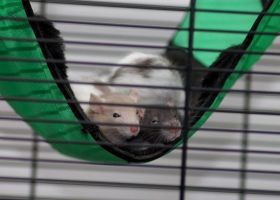 Baby rats in hammock by stphq