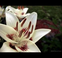 White Lily by DwayneF