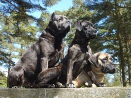 Cane Corso's on lookout by SaNNaS