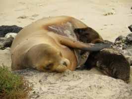 Sea Lion Baby Nursing by AfroDitee