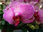 Pink Orchid by shadowhawk6776
