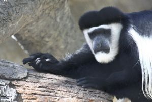 A Black-and-White Colobus Monkey on a Branch by CobaltBrony
