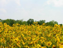 Field of Yellow Flowers 1 by FairieGoodMother