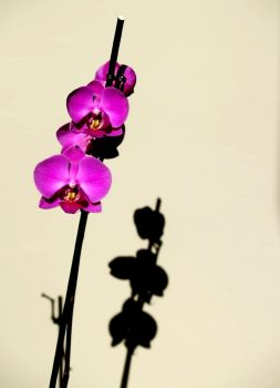ORCHID by enzeni