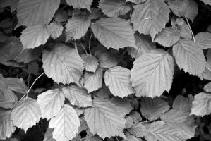 BW leaves by Hxes