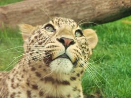 Persian Leopard by renegadeofpeace