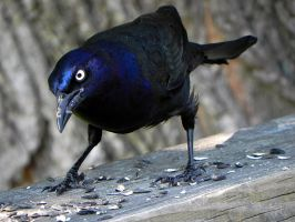 grackles can look so mean by Lou-in-Canada