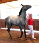 gray roan thoroughbred 1 by venomxbaby