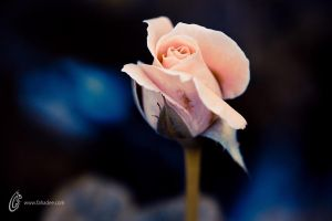 Rose of Dreams by fahadee