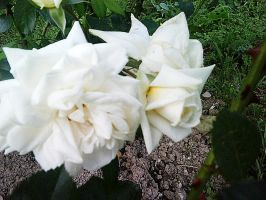 Two White Roses by theWitchofGrich