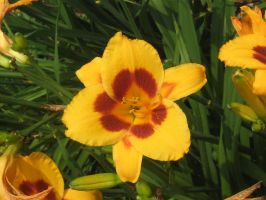 yellow and red lillie 01 by CotyStock