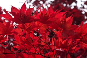Japanese maple by muffet1