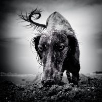 Saluki by AimishBoy