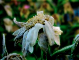 wilted by crystilizing