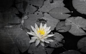 The Waterlily with Grunge Border by StarwaltDesign