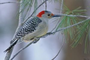 Winter Red-bellied Woodpecker by mydigitalmind