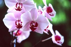photo of orchid for madelinka by dielectric-m