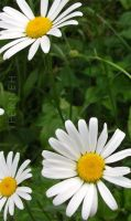 White Daisies by iFerneh