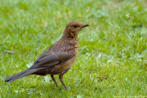 Song Thrush by horai