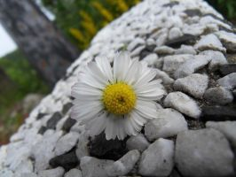 Memorial Daisy by Emeralde