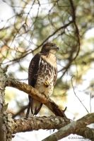 Buteo jamaicensis 3 by eagle79