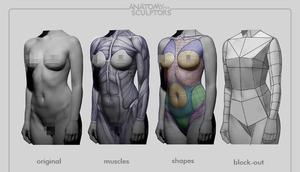 Female body deconstructed by anatomy4sculptors