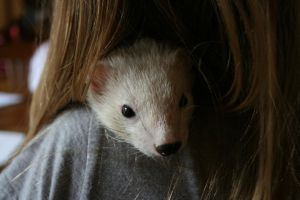 stinker the ferret by evilqueen112