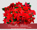 Poinsettia Flowers PNGs by Bellacrix