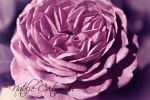 Purple Rose by natzcv