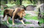 African male lion walking by charfade
