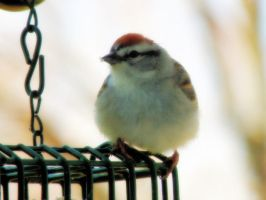 Chipping Sparrow by S-H-Photography