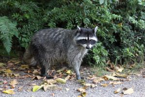Stanley Park raccoon by superbestlucky