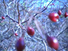 Red Berries by DefyingIndecision