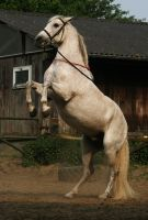 Andalusian Horse Stock Image by Nexu4