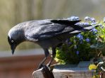 Bird 349 - interesting jackdaw by Momotte2stocks