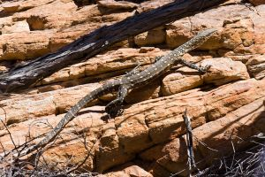 Perentie monitor lizard by duncan-blues