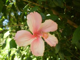 Pink Hibiscus by Twister4evaSTOCK