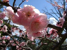 Pink ume by calger459