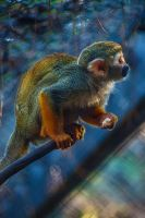 Common Squirrel Monkey by servilonus