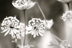 Black and white flowers by Dodephine