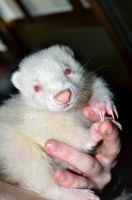 Twitch: My Beautiful Albino Skunk by Atyrius