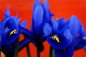 rhapsody in blue by augenweide