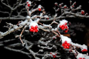 snow berries two. by StillSouthern