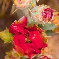 Red Cactus Flower by terryrunion