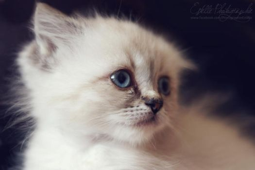 White Kitten 1 by Estelle-Photographie